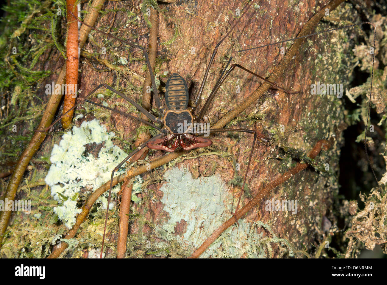Tailless whipscorpion (Amblypygid) on a tree trunk in Ecuador - Stock Image