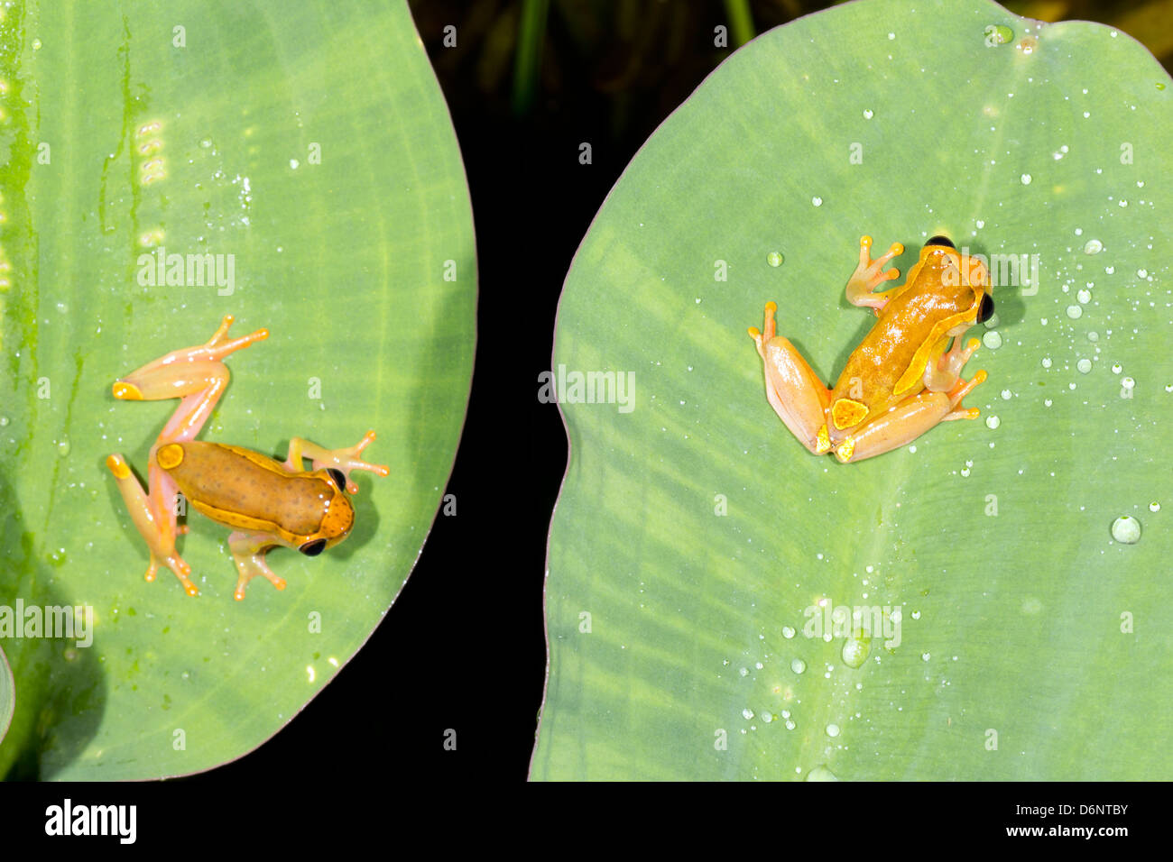 Two Upper Amazon Treefrogs (Dendropsophus bifurcus) on water hyacinth leaves above a rainforest pond, Ecuador. - Stock Image