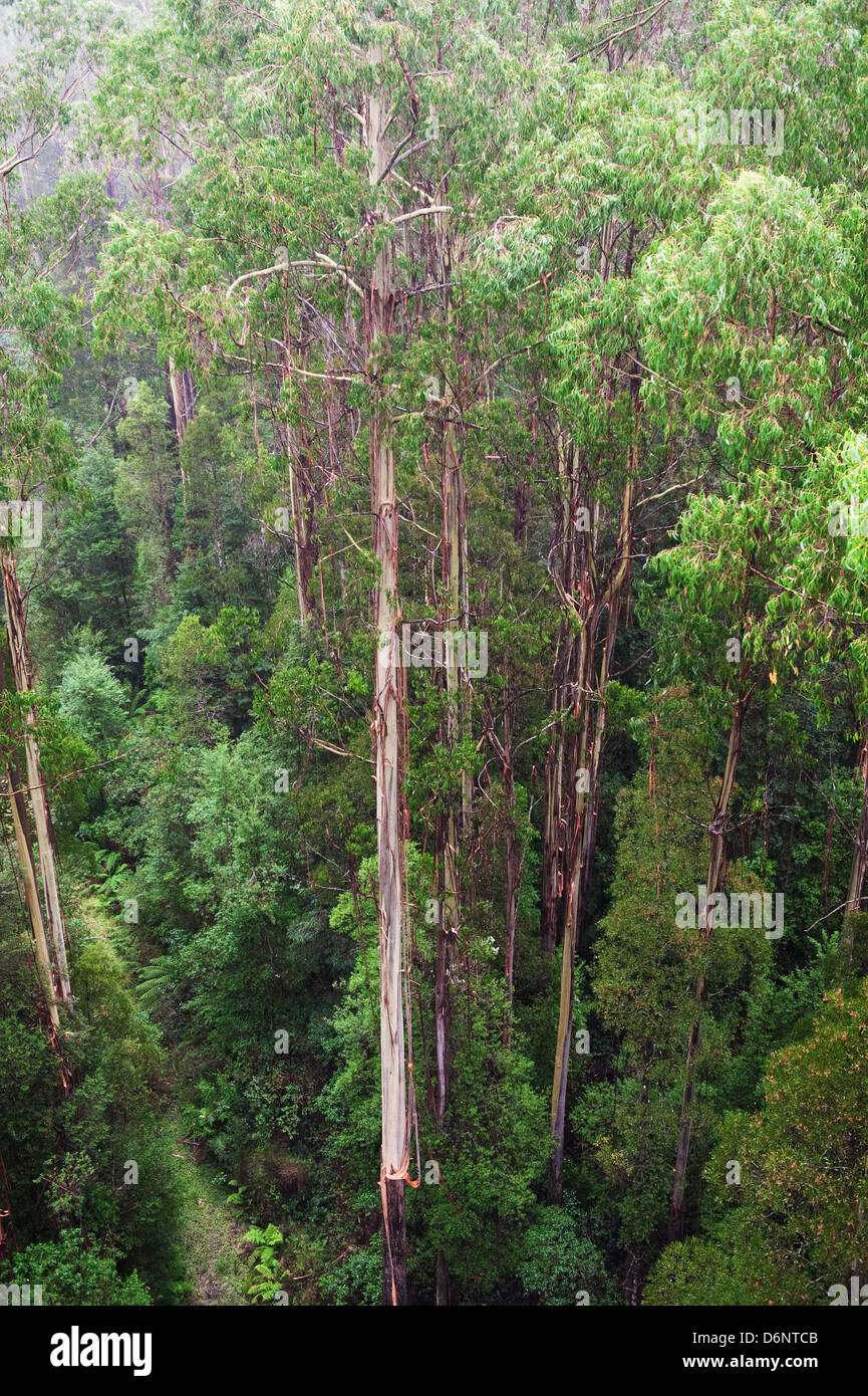 famous Rainforest in the rain from the Tree Top Walk of Otway Fly up to 30 meters above ground level,Great Ocean Stock Photo