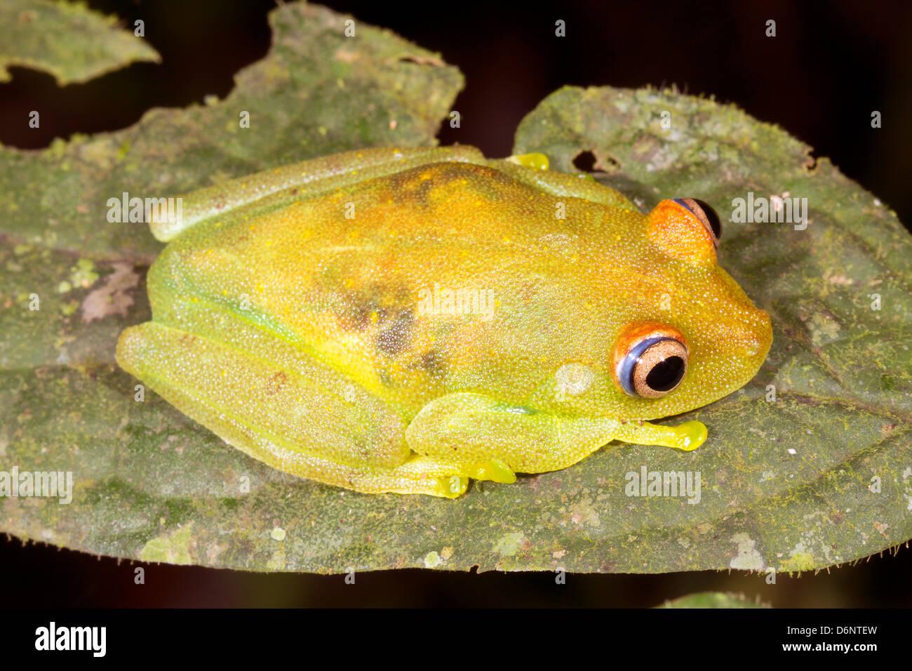 Rough Skinned Green Treefrog (Hypsiboas cinerascens) in the Ecuadorian Amazon - Stock Image