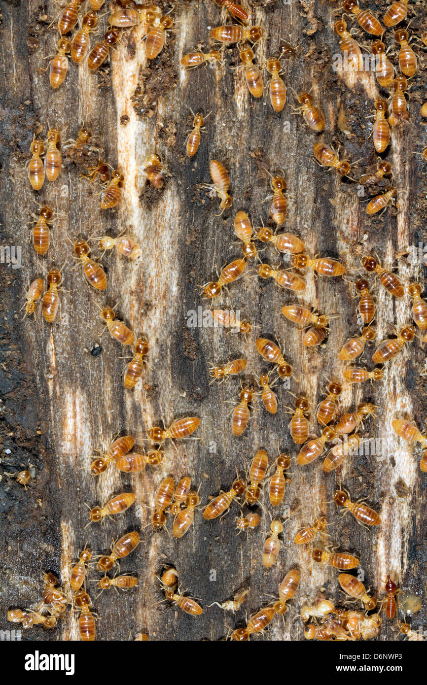 Termites on a plank of wood - Stock Image