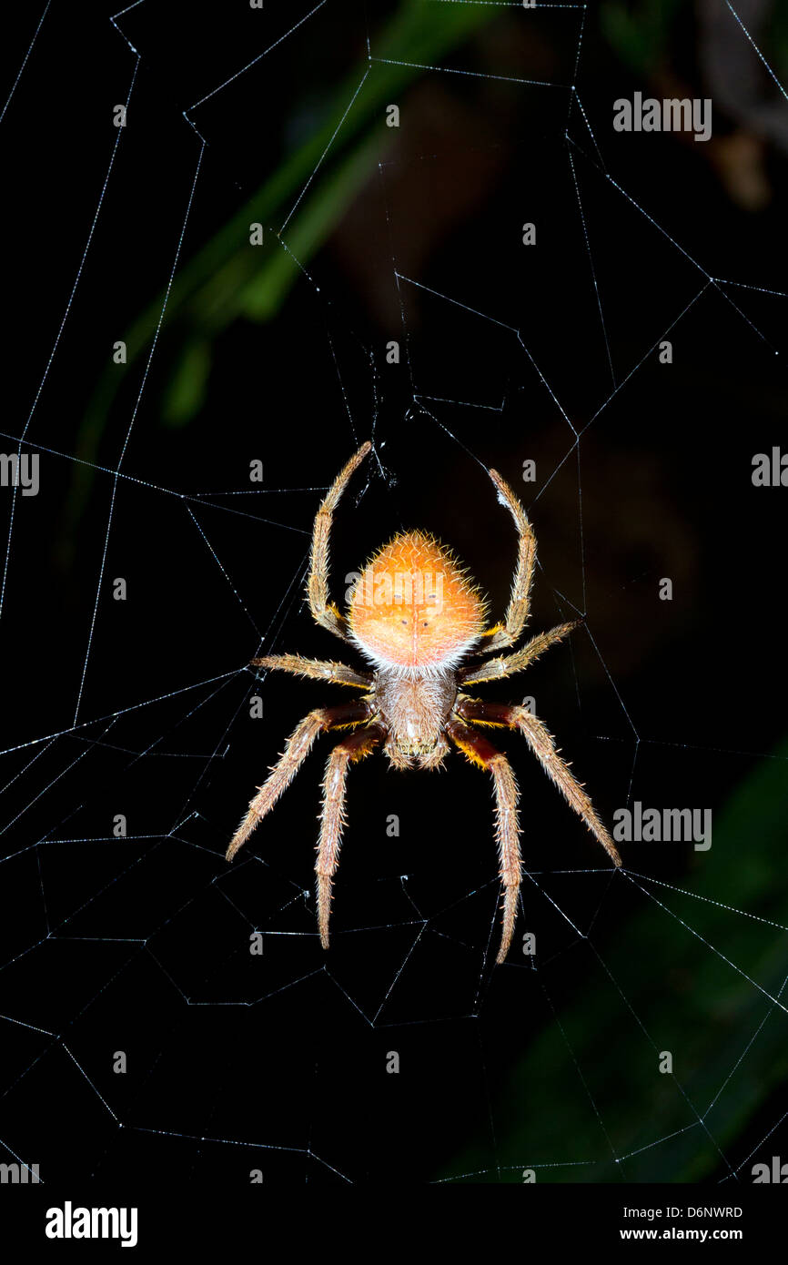Tropical orb-web spider - Stock Image