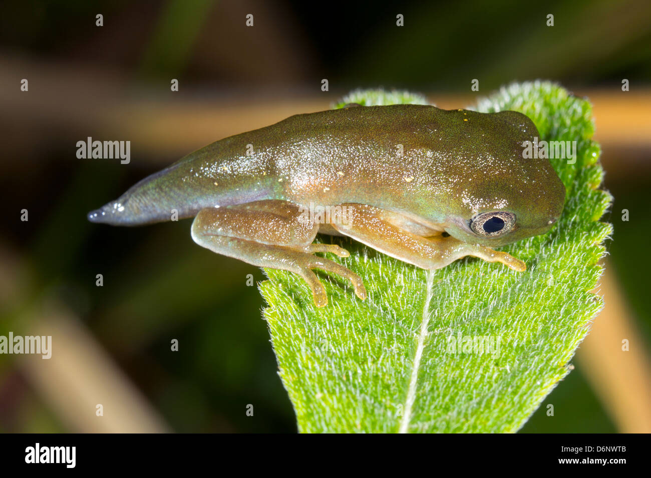 Amphibian metamorphosis - Tadpole changing into a frog above a rainforest pool in Ecuador - Stock Image