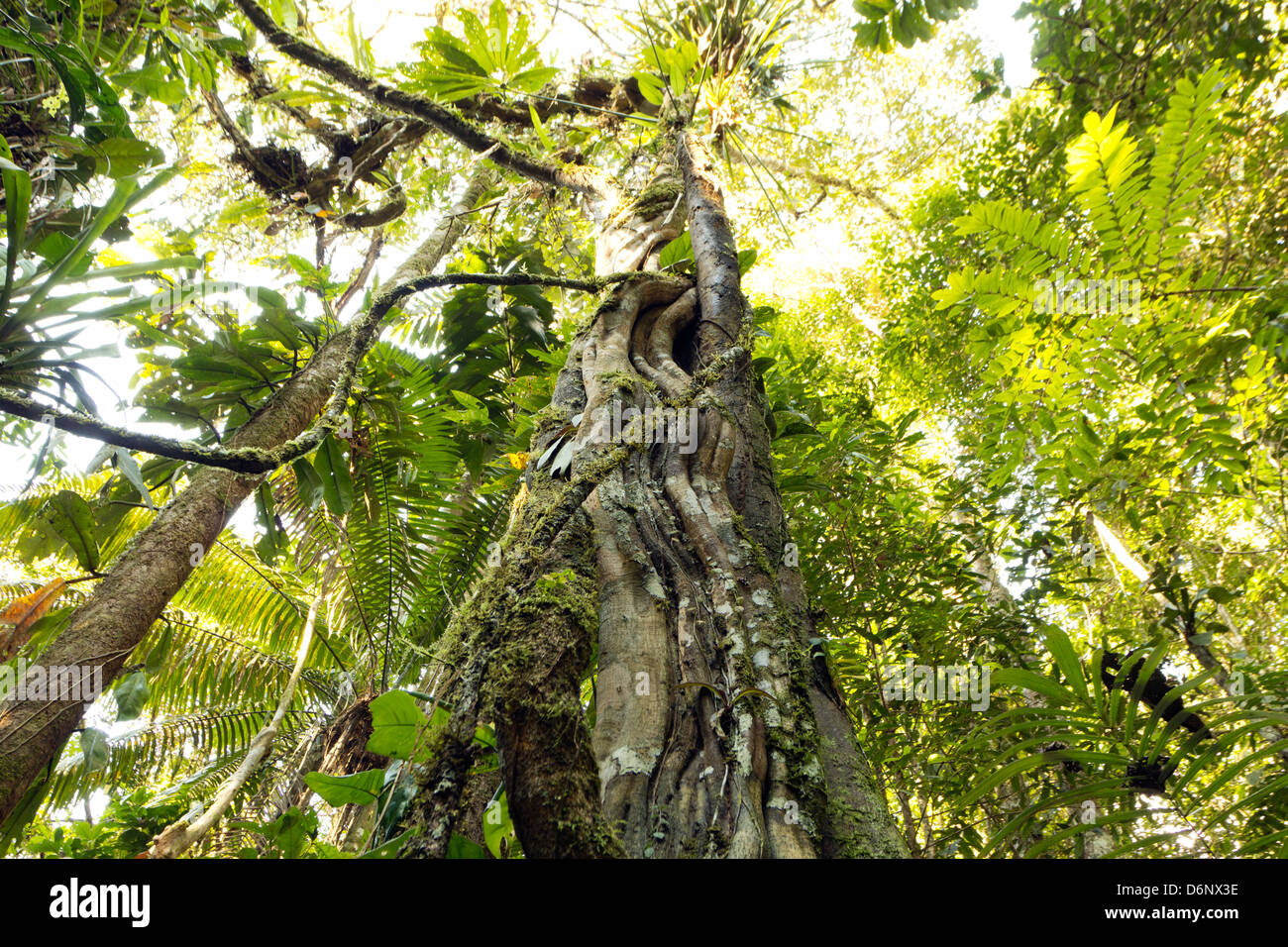 Looking up a liana tangled tree trunk to the rainforest canopy in Ecuador - Stock Image