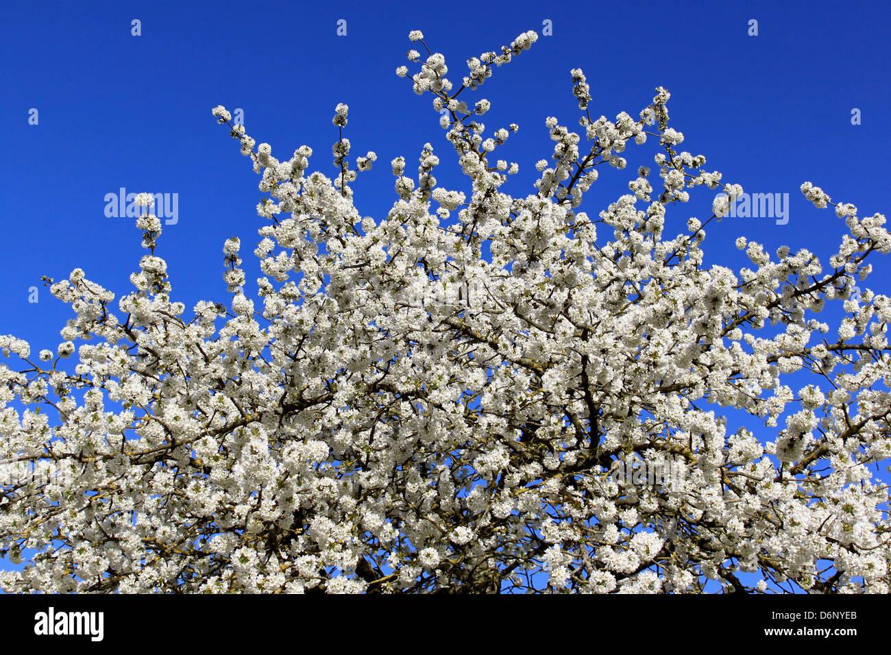Albero Con Fiori Bianchi burlat cherry stock photos & burlat cherry stock images - alamy