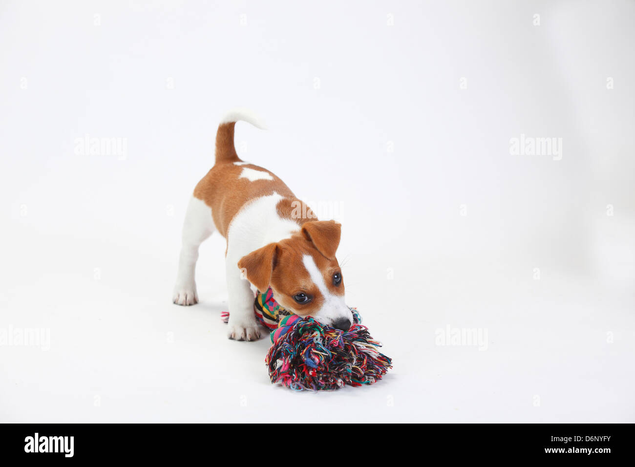 Jack Russell Terrier, puppy, 9 weeks / toy Stock Photo