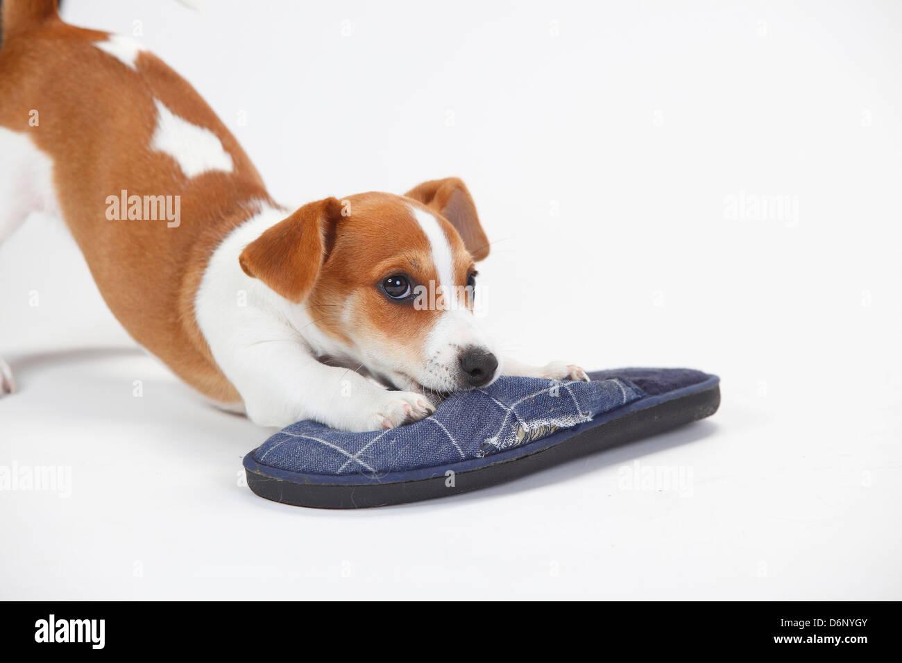 Jack Russell Terrier, puppy, 9 weeks / slipper |Jack-Russell-Terrier, Welpe, 9 Wochen, Huendin / Pantoffel Stock Photo