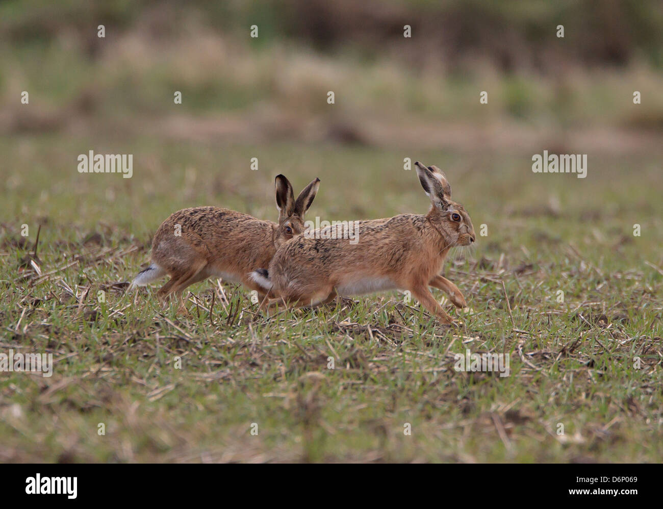 Brown Hare Lepus europaeus buck chasing doe across field in Oxfordshire - Stock Image