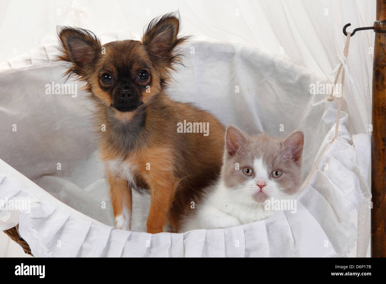 Chihuahua Puppy Longhaired 4 Months And British Longhair Cat