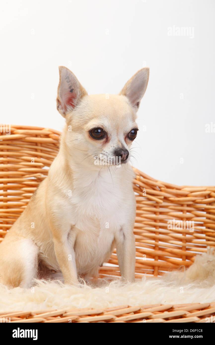 Chihuahua, short-haired |Chihuahua, kurzhaarig / Sofa, Couch, Hundesofa - Stock Image