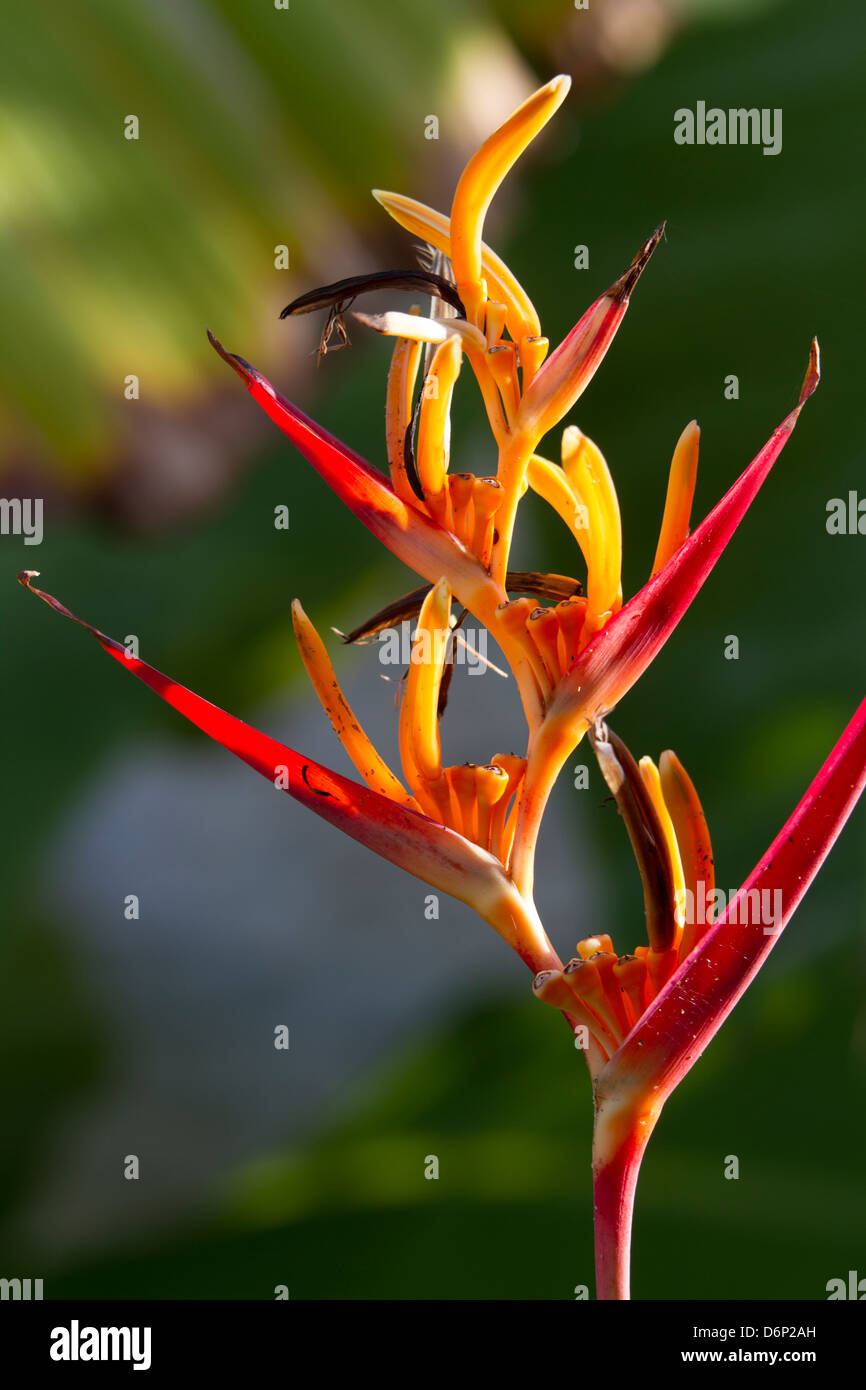 Heliconia or Lobster Claw glowing in sunlight... - Stock Image