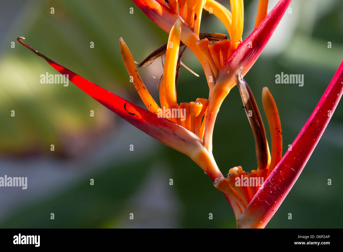 Heliconia or Lobster Claw, closeup 2 - Stock Image