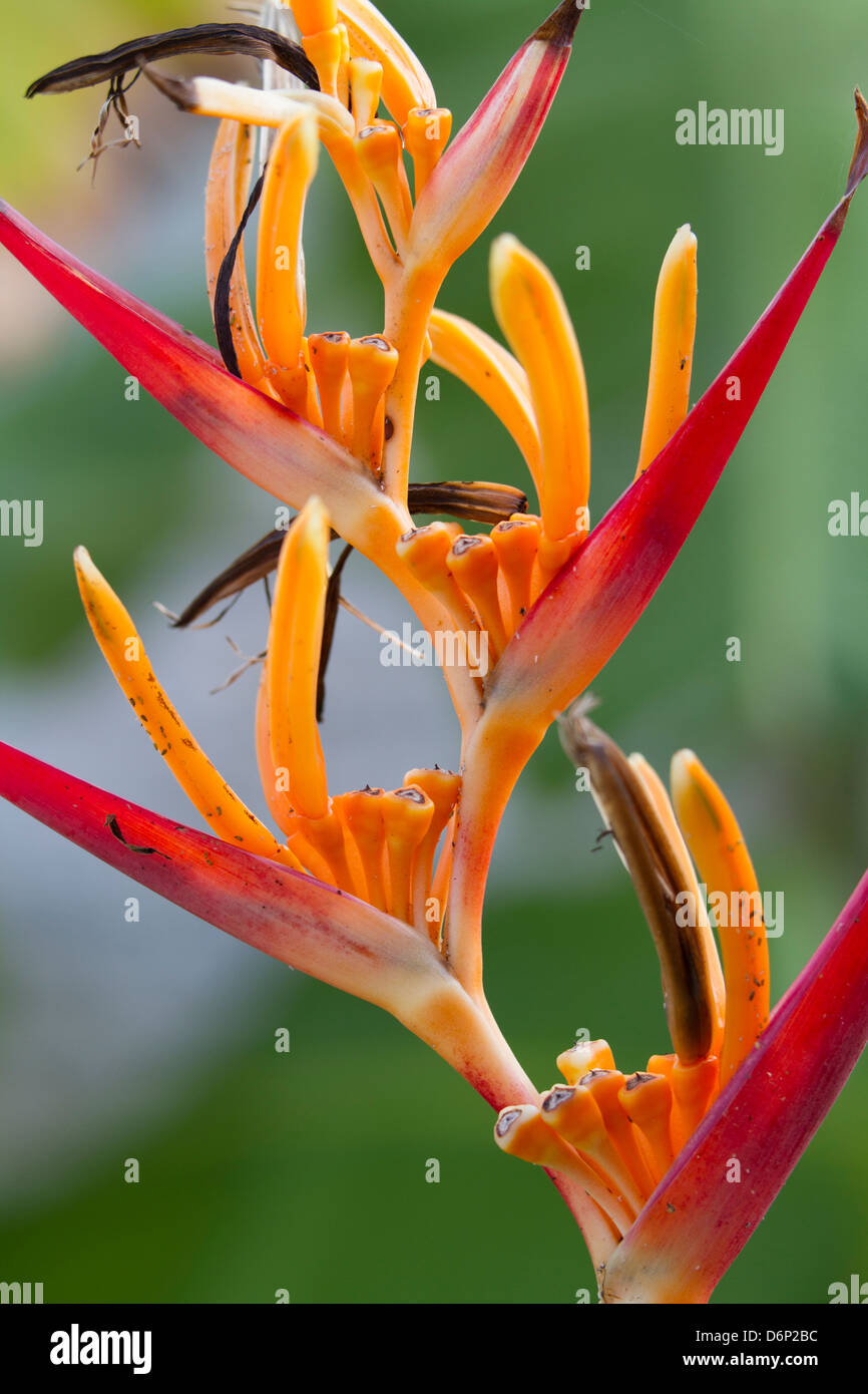 Heliconia or Lobster Claw, closeup... - Stock Image