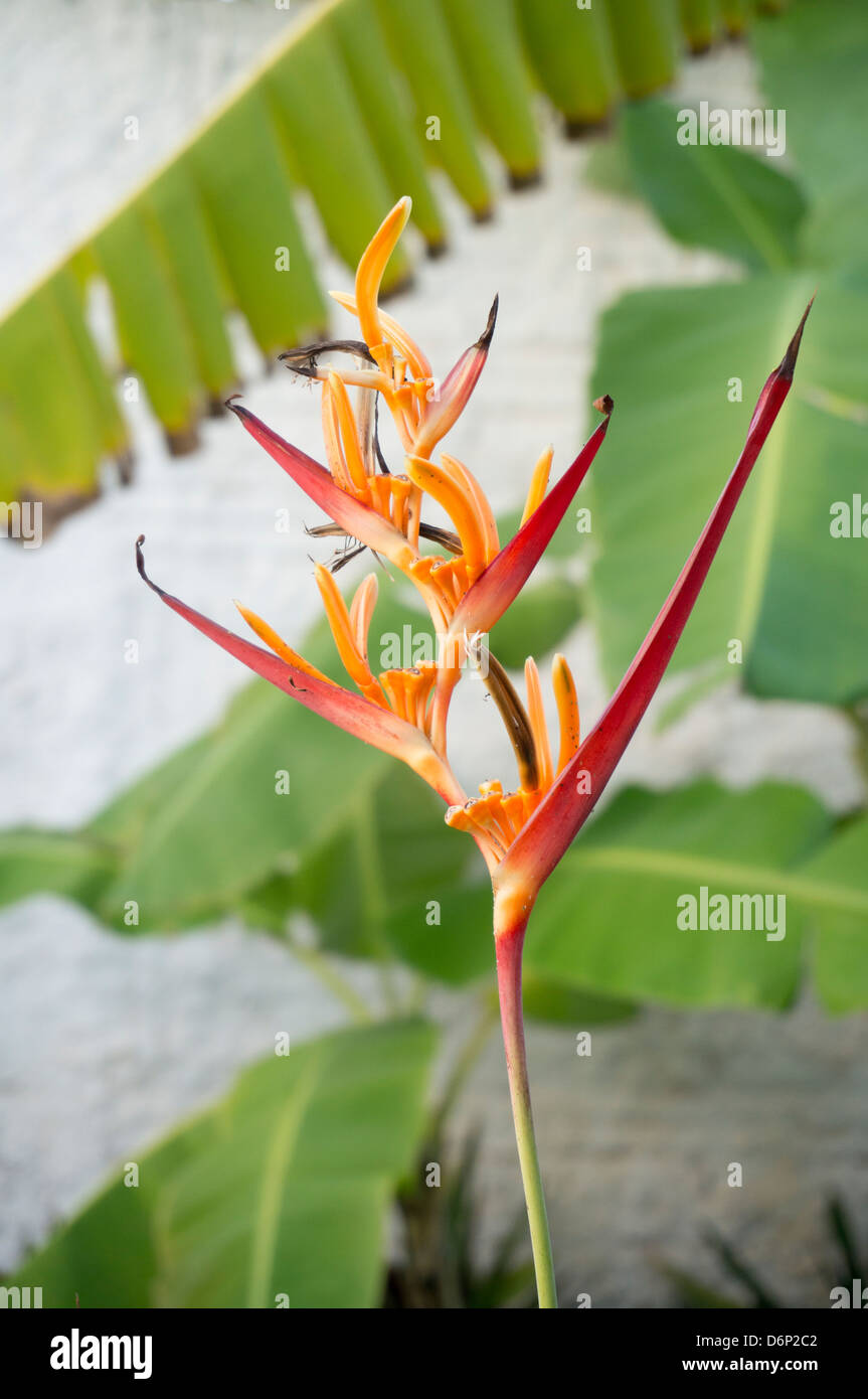 Heliconia or Lobster Claw, Banana Plant leaf in the background... - Stock Image