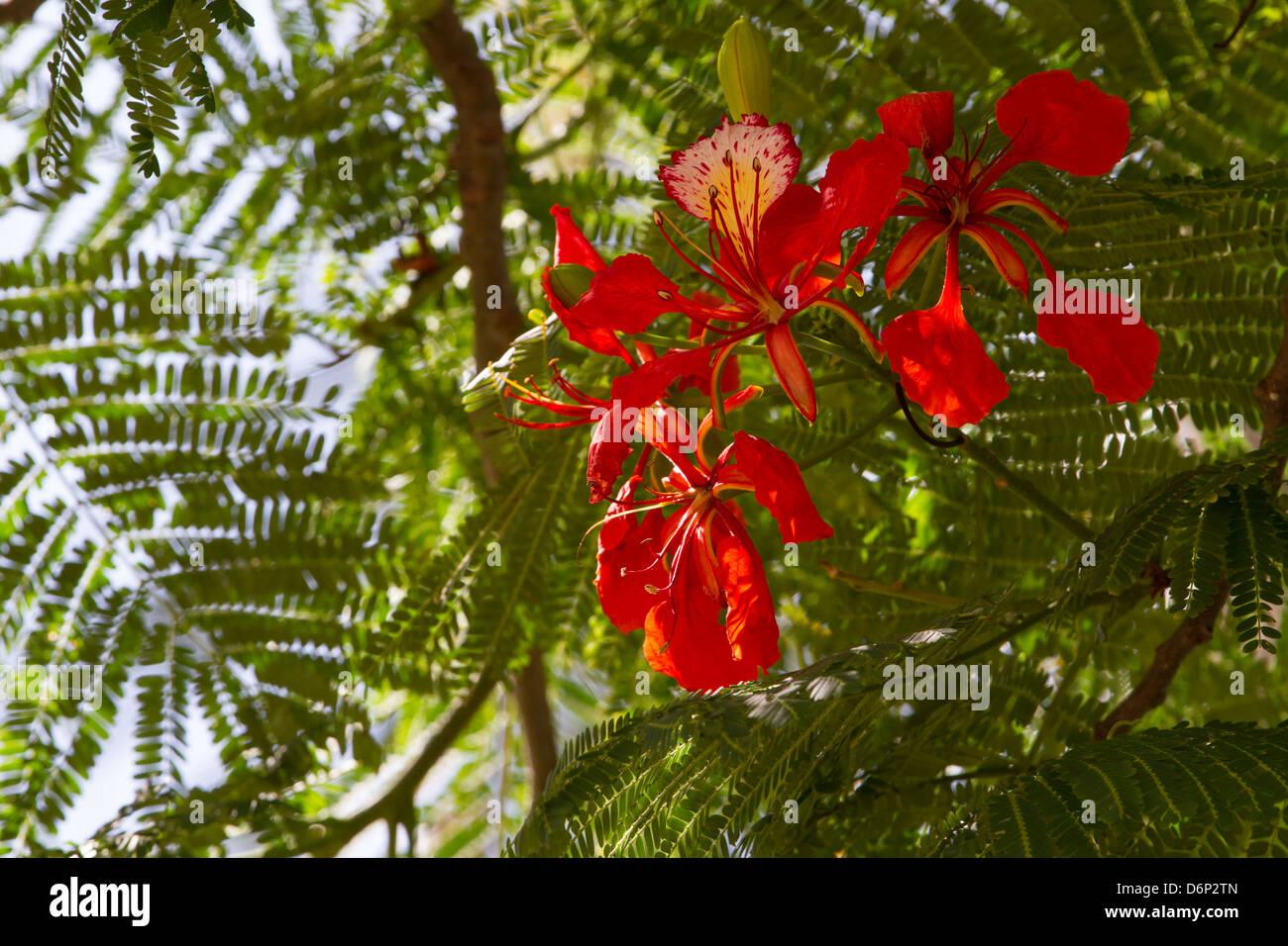 Royal Poinciana, single bloom... - Stock Image