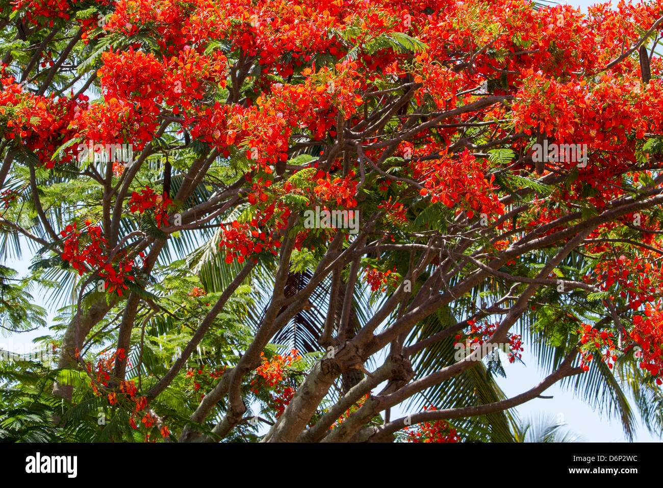 Royal Poinciana, tree limbs with bloom... - Stock Image