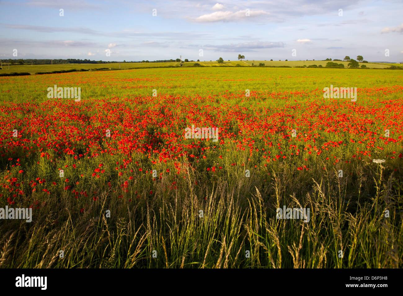 Poppy field near Scarcliff Village, Derbyshire, England, United Kingdom, Europe - Stock Image