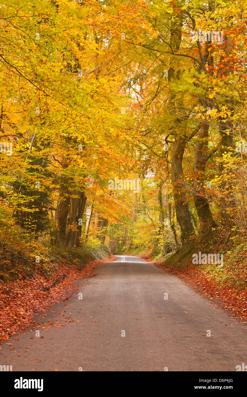 Autumn colours in the beech trees on the road to Turkdean in the Cotwolds, Gloucestershire, England, United Kingdom, Stock Photo