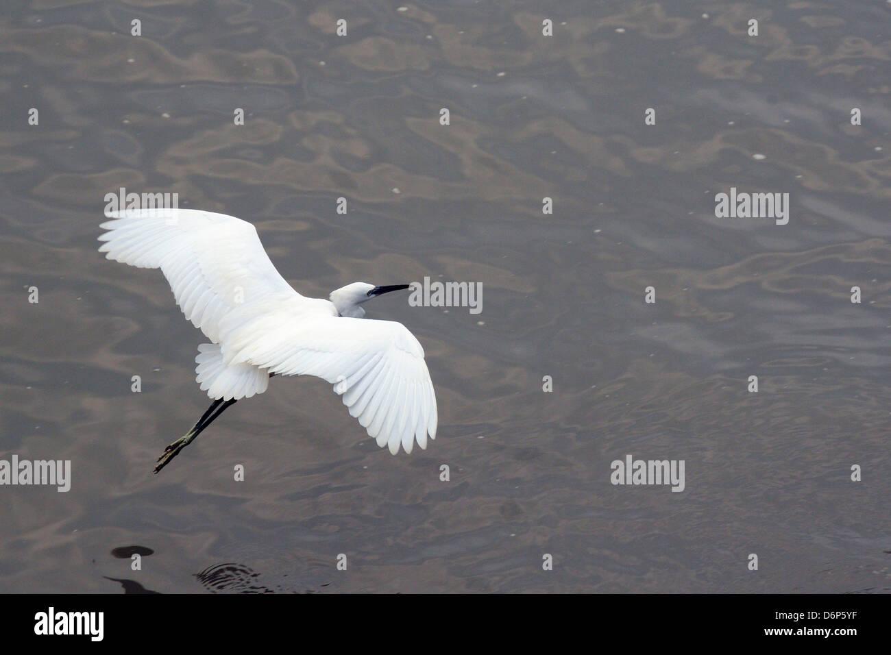 Little egret (Egretta garzetta) flying low over the Tamsui River estuary, Tamsui (Danshui), Taiwan, Asia - Stock Image