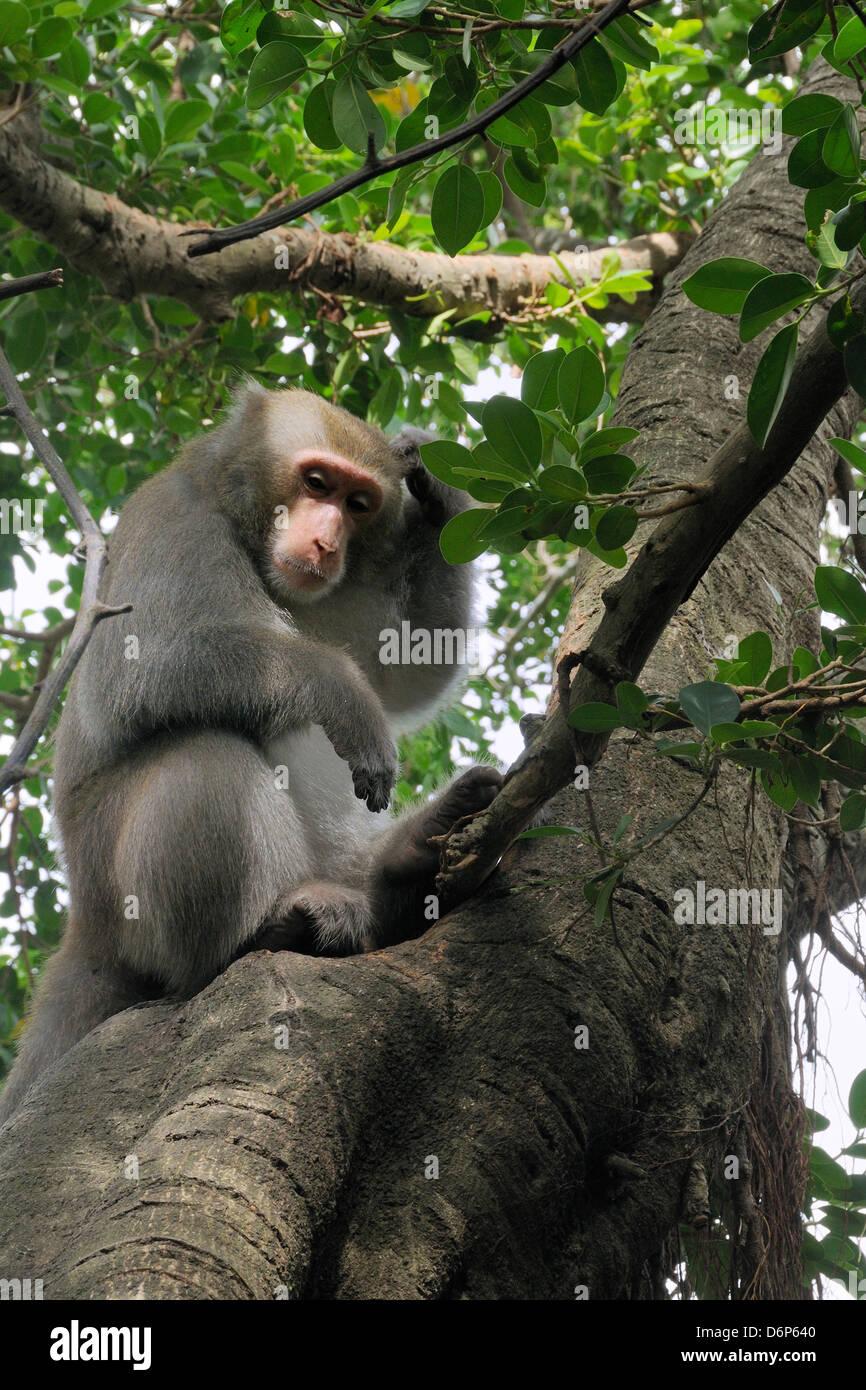 Formosan macaque (Taiwan macaque) (Macaca cyclopis) scratching its head in a banyan tree (Ficus microcarpus), Chaishan, - Stock Image