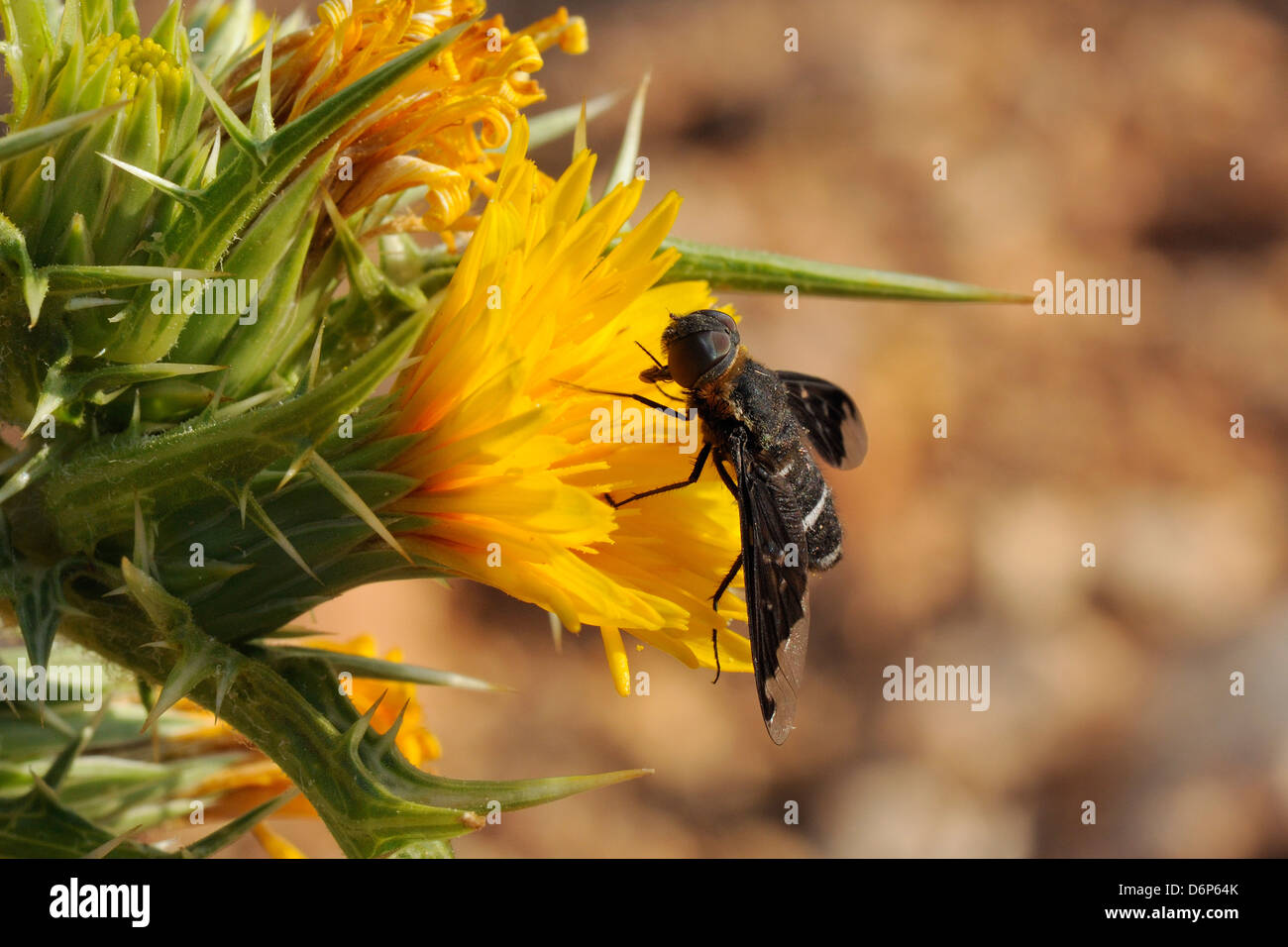 Bee fly (Hemipenthes velutina) feeding from spiny sow thistle (Sonchus asper) flower in scrubland, Zadar province, - Stock Image