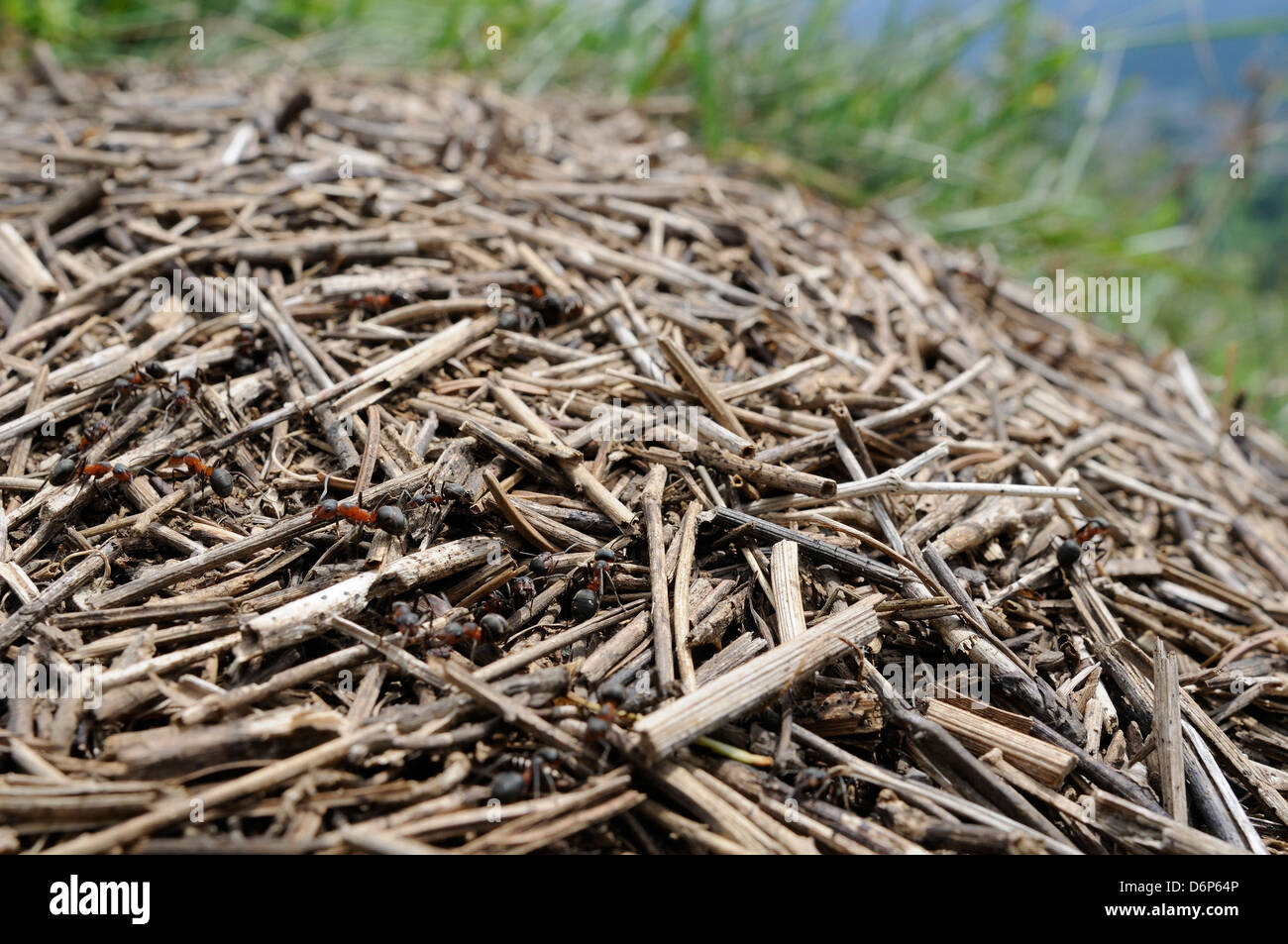 Black-backed meadow ants (Formica pratensis) on nest mound of old grass stems in montane pastureland, Julian Alps, - Stock Image