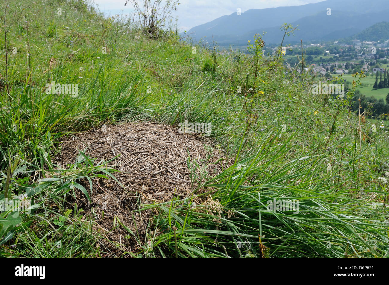 Black-backed meadow ant (Formica pratensis) nest mound of old grass stems in montane pastureland near Bled, Slovenia, Stock Photo