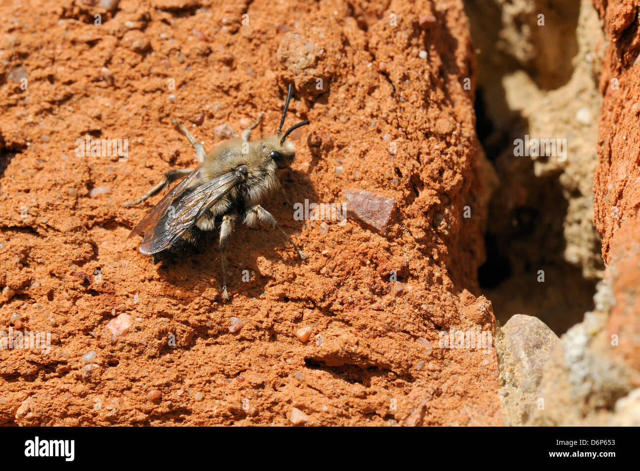 Cuckoo bee (Melecta albifrons) a parasite of solitary bees, searching an old wall for host nests, Brandenburg, Germany, - Stock Image