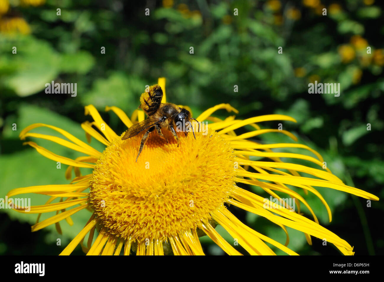 Leafcutter bee (Megachile sp.) feeding from flowerhead of heartleaf oxeye (giant oxeye daisy) (Telekia speciosa), - Stock Image
