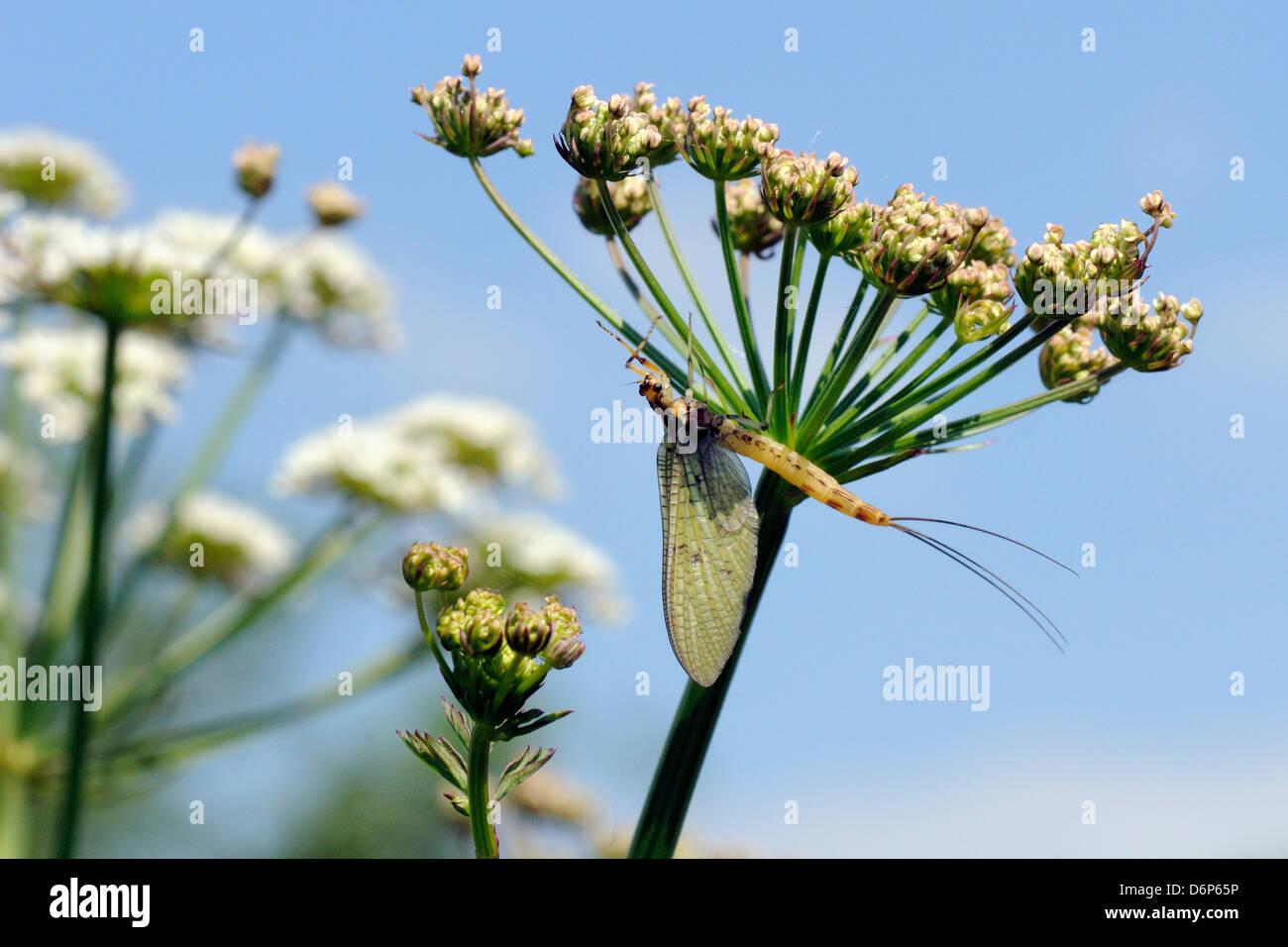 Green drake mayfly (Ephemera danica) newly emerged on a riverside umbel flowerhead in May, Wiltshire, England, UK - Stock Image
