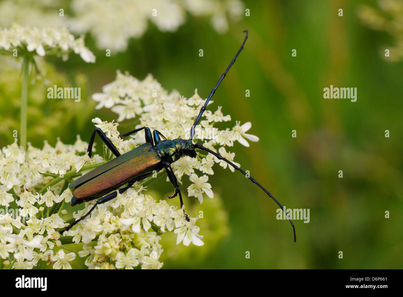Musk beetle (Aromia moschata) foraging on wild carrot (Queen Anne's lace) (Daucus carota) flowerhead in a hay - Stock Image