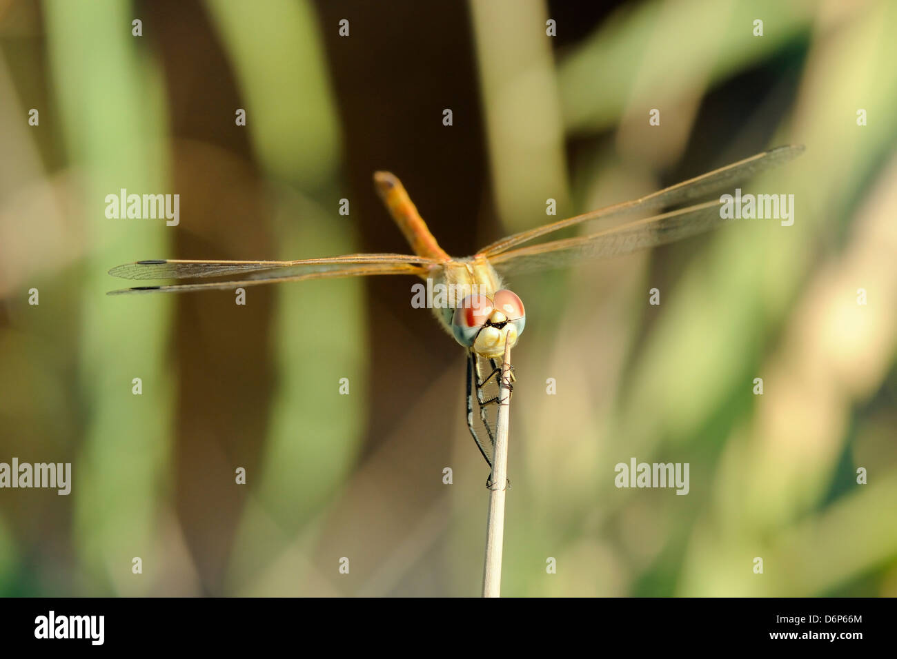 Female red-winged darter dragonfly (Sympetrum fonscolombii) female, clasping spiky stem of Juncus rush, Lesbos (Lesvos), - Stock Image