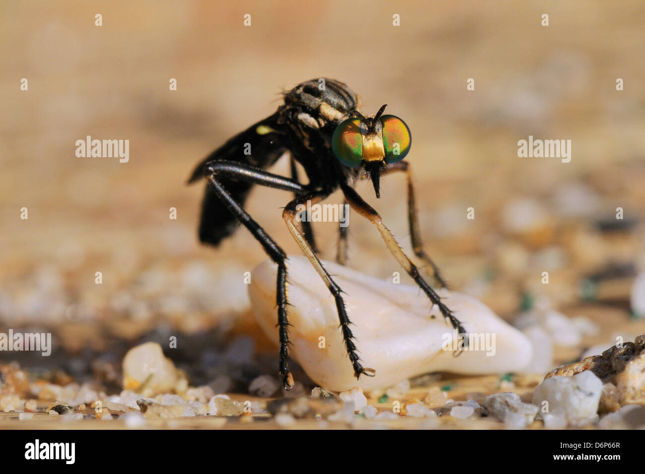 Robber fly (Saropogon sp.) hunting for aerial prey from a beach mat covered with sand and pebbles, Samos, Greece, - Stock Image