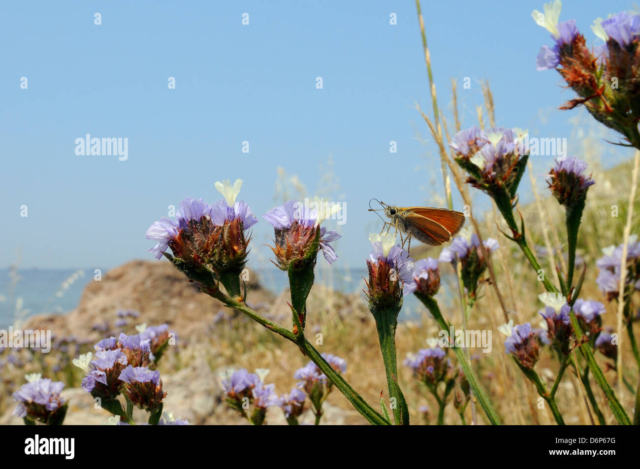 Small skipper (Thymelicus sylvestris) feeding from Winged sea lavender flower, Lesbos (Lesvos), Greek Islands, Greece - Stock Image