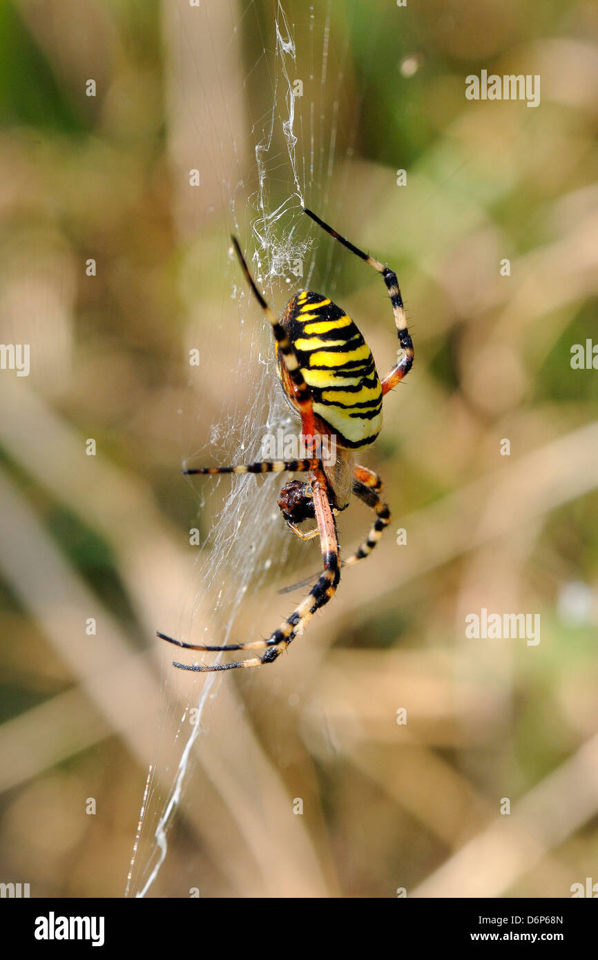 Orb Web Spider Stock Photos & Orb Web Spider Stock Images - Alamy