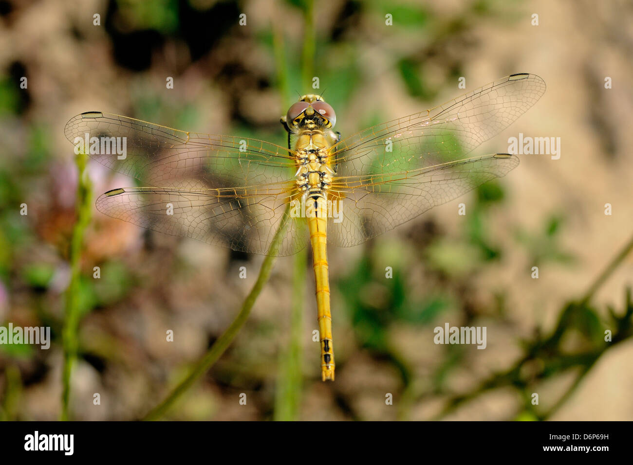 Female red-veined darter dragonfly (Sympetra fonscolombii), Hecho valley, Spanish Pyrenees, Spain, Europe - Stock Image