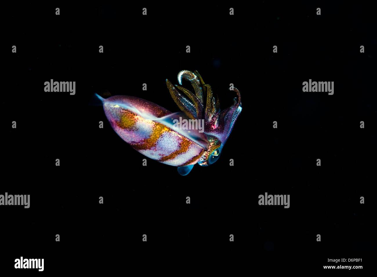 Caribbean reef squid (Sepioteuthis sepioidea), Dominica, West Indies, Caribbean, Central America - Stock Image