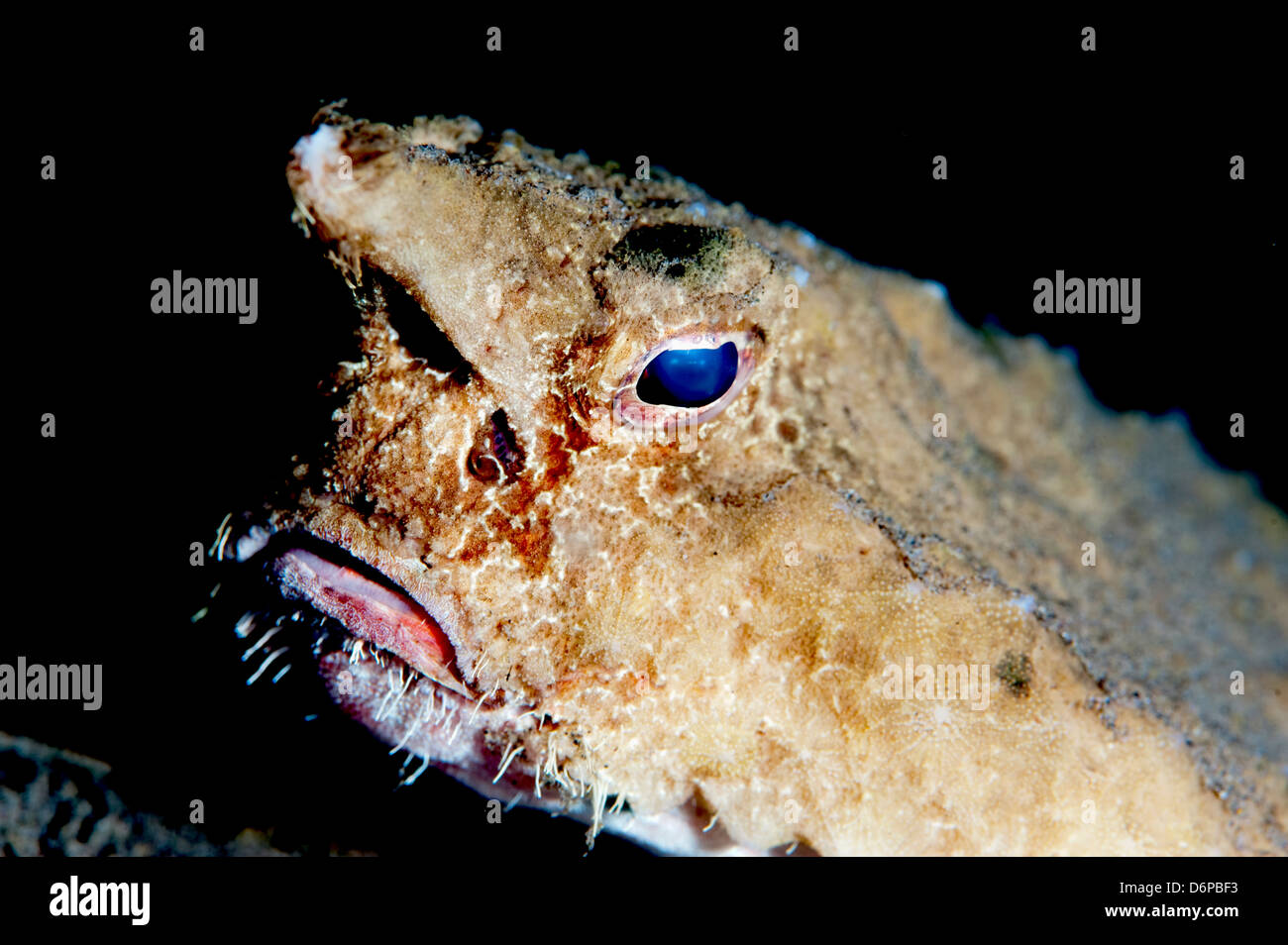 A rare longnose walking batfish (Ogcocephalus corniger) that usually lives at depths to 300m, Dominica, West Indies, - Stock Image