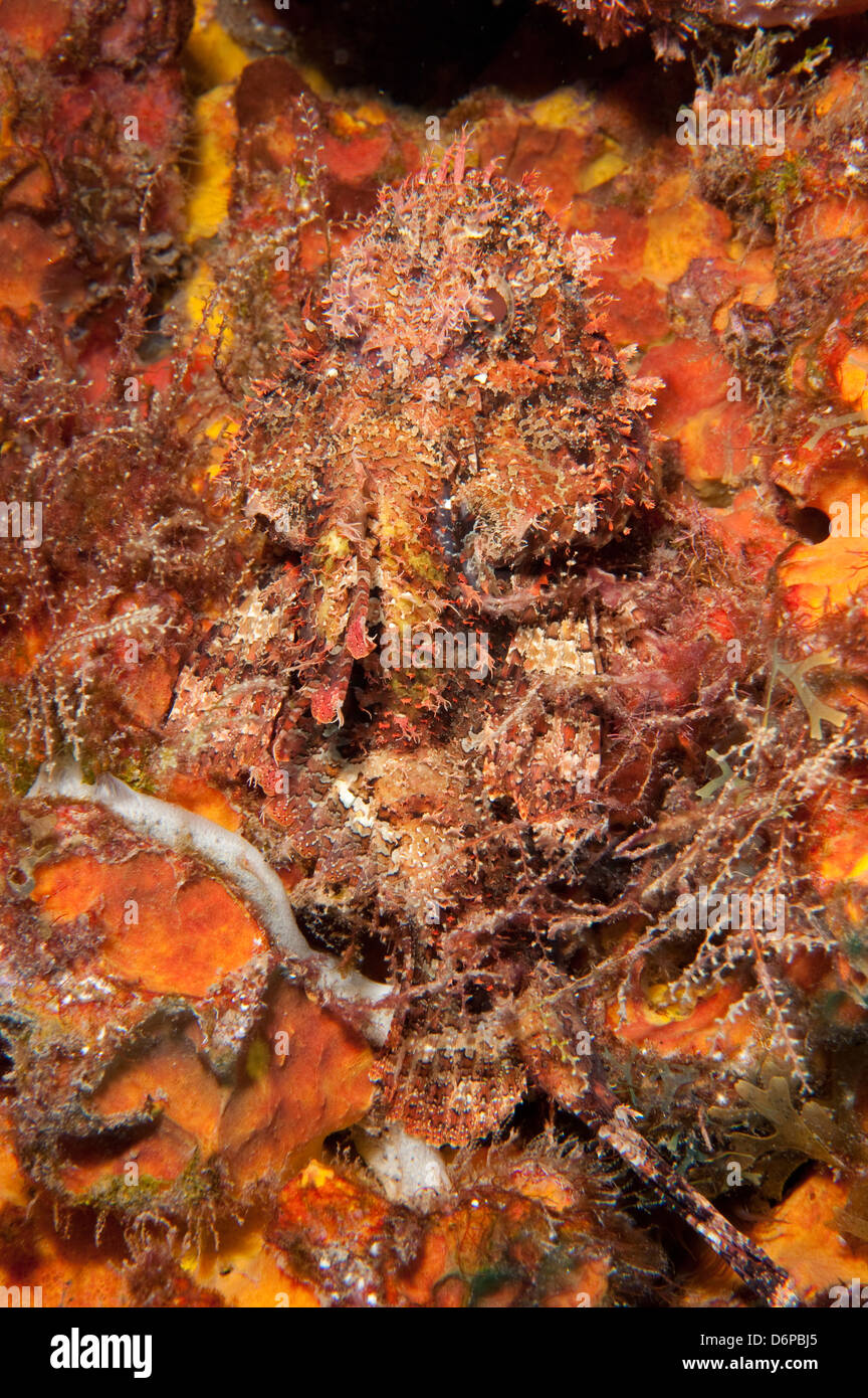 Very well camouflaged plumed scorpionfish (Scorpaena grandicornis), Dominica, West Indies, Caribbean, Central America Stock Photo