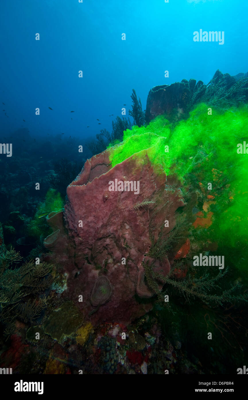 Giant sponge showing how it filters water with the use of dye, Dominica, West Indies, Caribbean, Central America - Stock Image