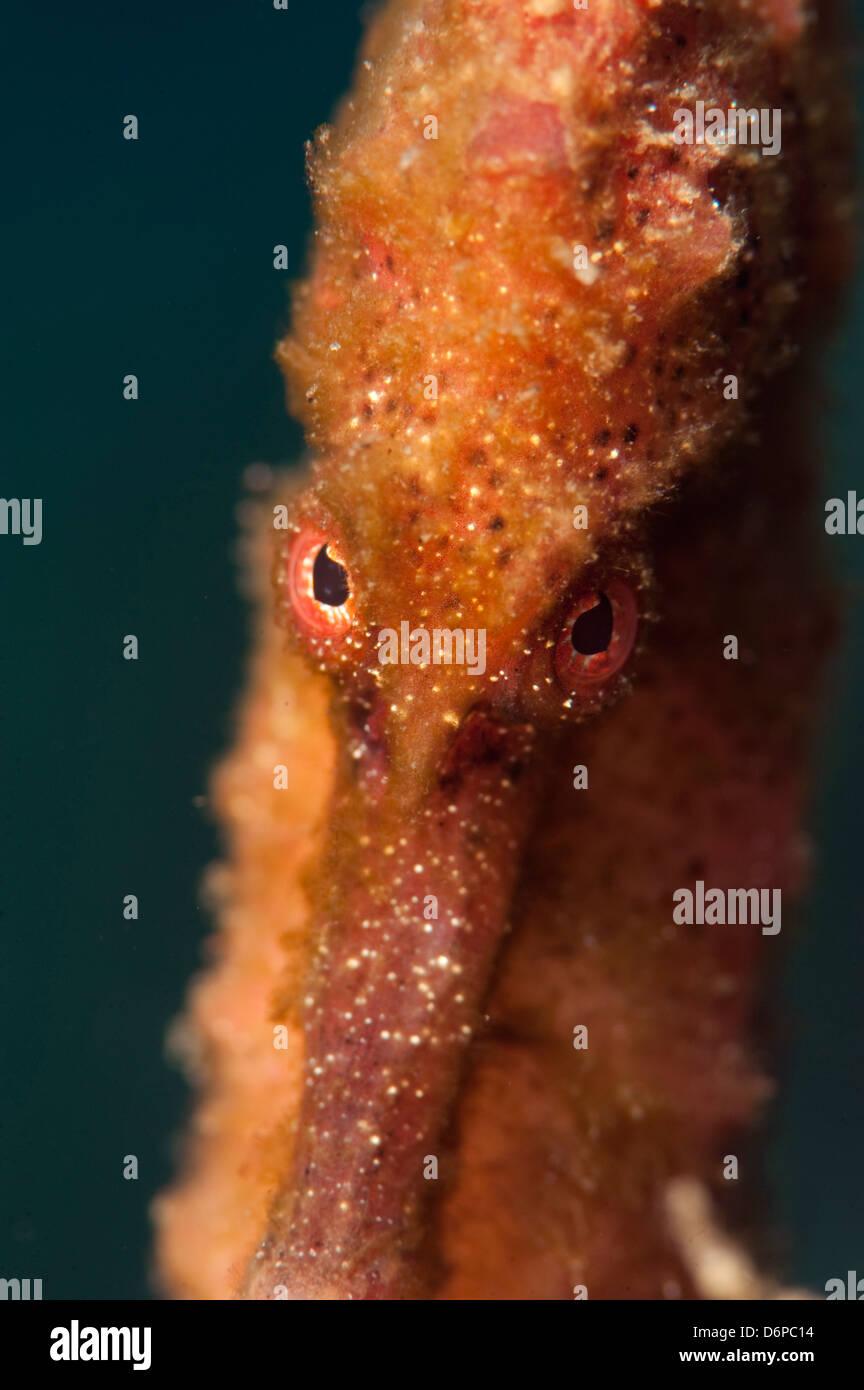 Longsnout seahorse (Hippocampus reidi), Dominica, West Indies, Caribbean, Central America - Stock Image