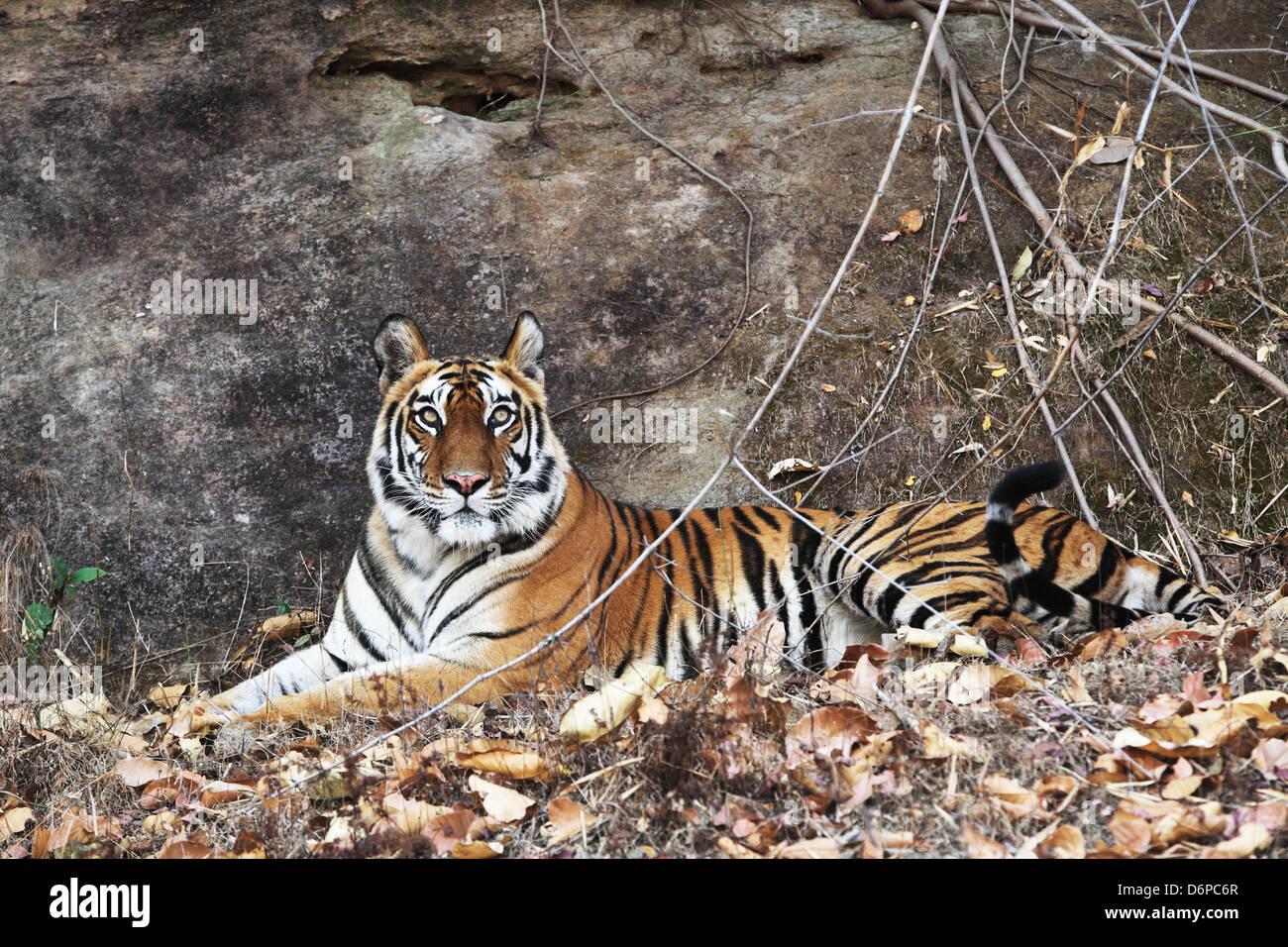 Bengal tiger, Panthera tigris tigris, Bandhavgarh National Park, Madhya Pradesh, India - Stock Image