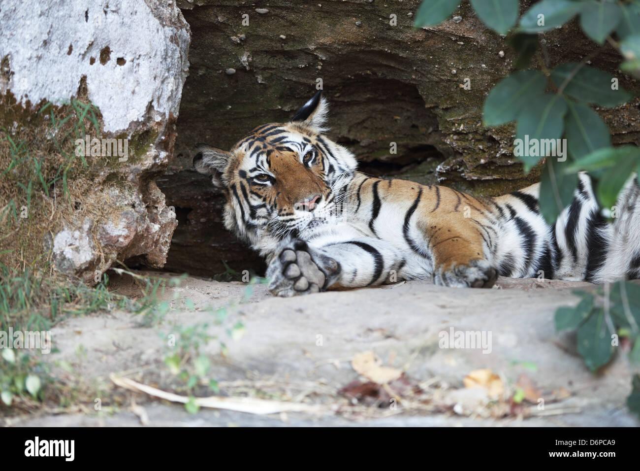 Bengal tiger, Panthera tigris tigris, Bandhavgarh National Park, Madhya Pradesh, India Stock Photo
