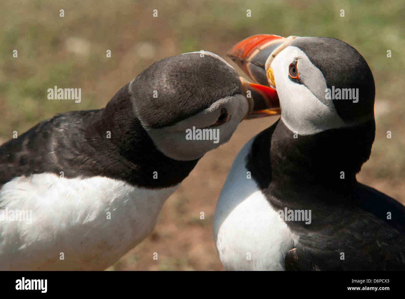 Two puffins billing, Wales, United Kingdom, Europe - Stock Image