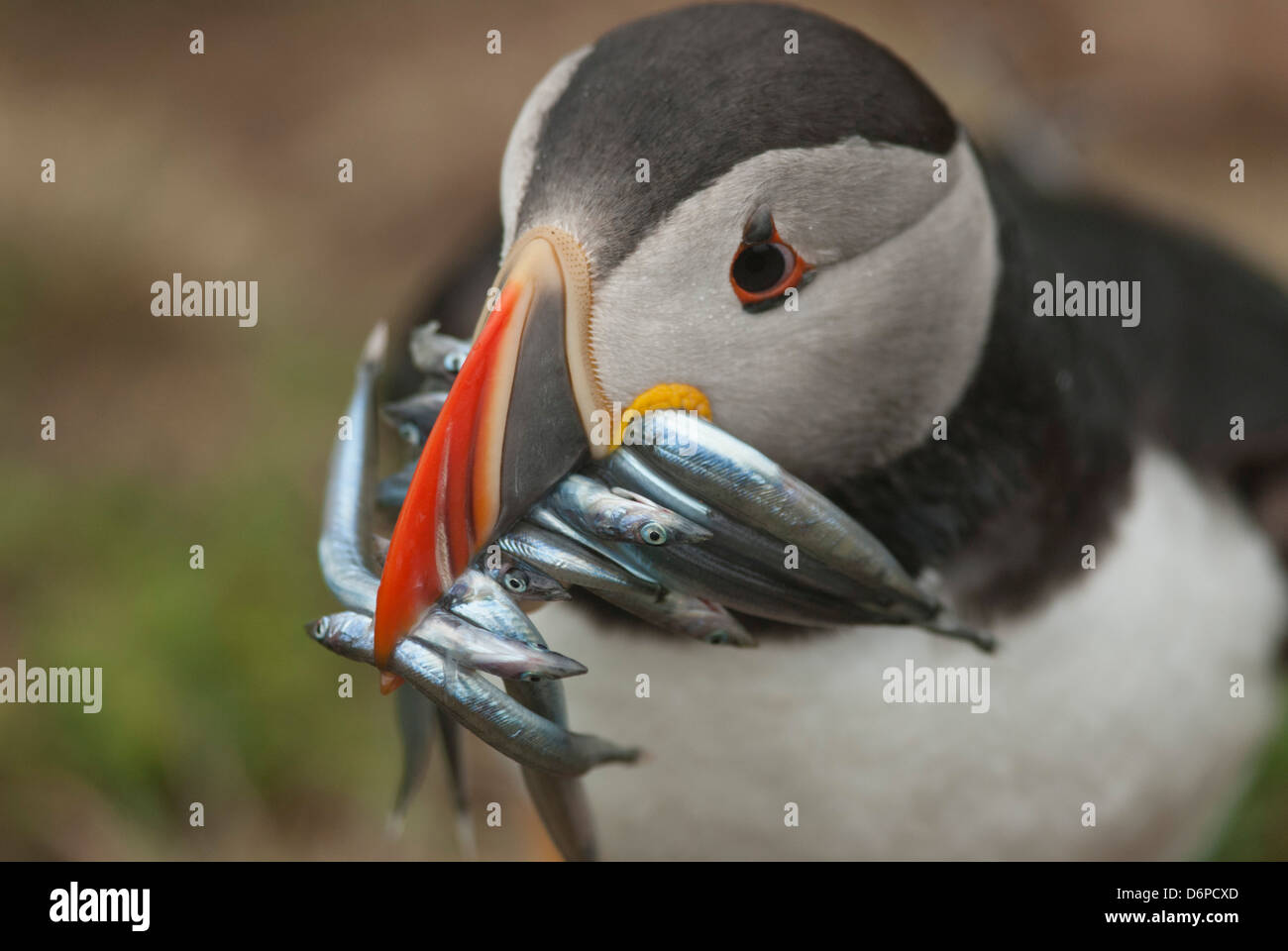 Puffin with sand eels in beak, Wales, United Kingdom, Europe - Stock Image