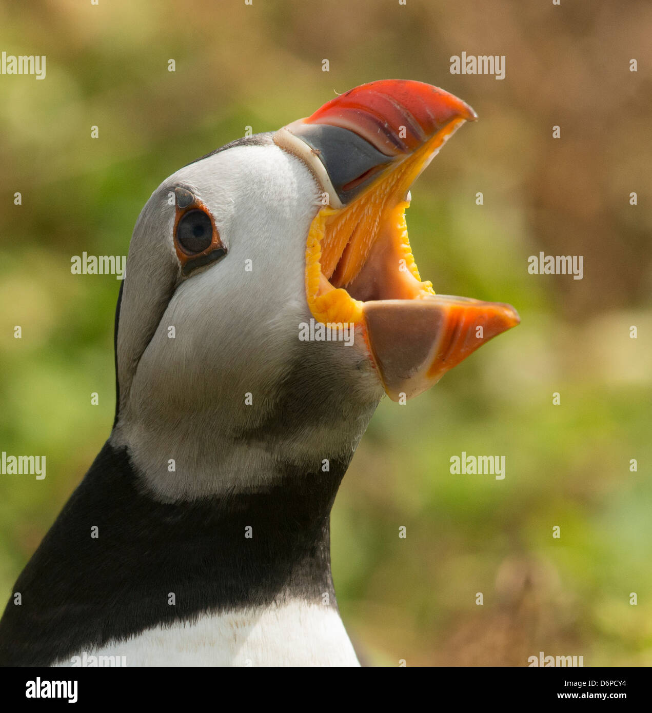 Puffin with gaping beak showing barbs in roof of beak, Wales, United Kingdom, Europe - Stock Image