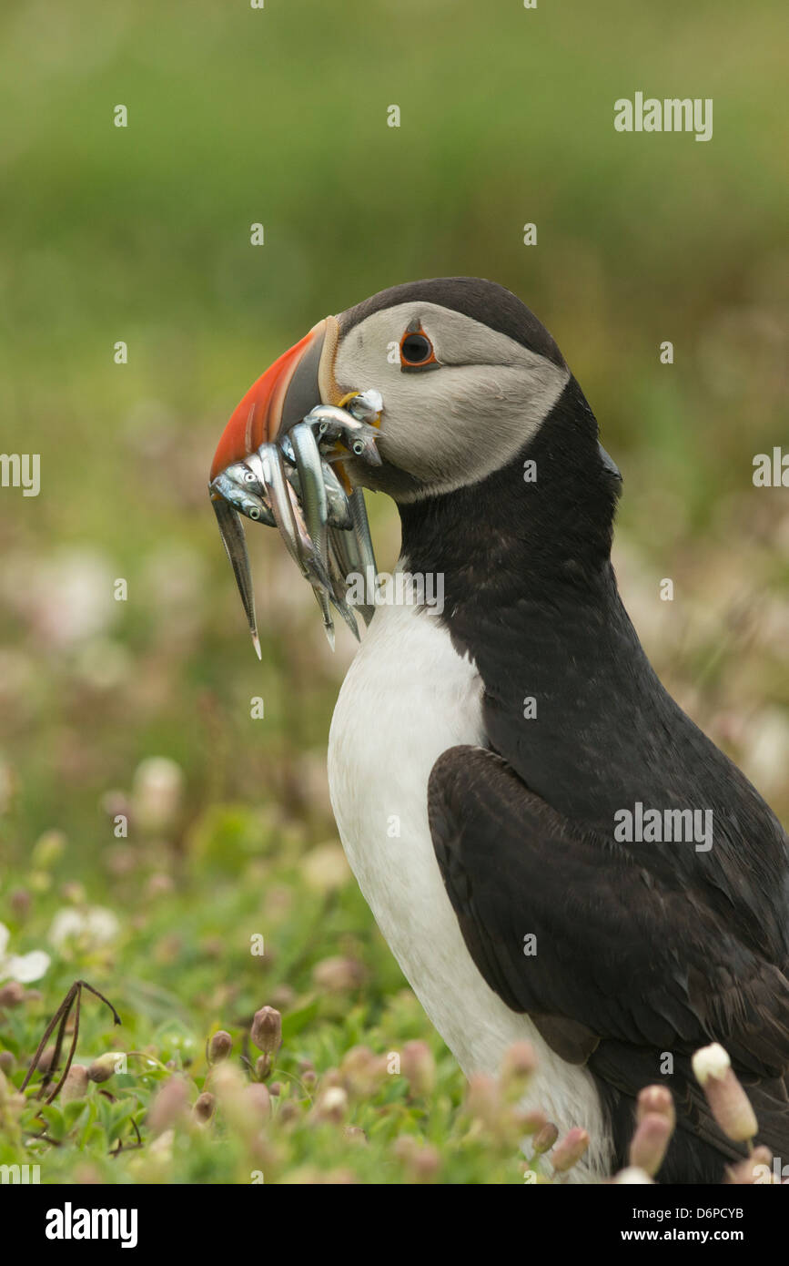 Puffin with beak full of sand eels, Wales, United Kingdom, Europe - Stock Image