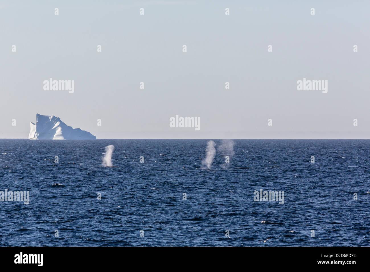 Fin whales (Balaenoptera physalus), Vikingbukta, Northeast Greenland, Polar Regions - Stock Image