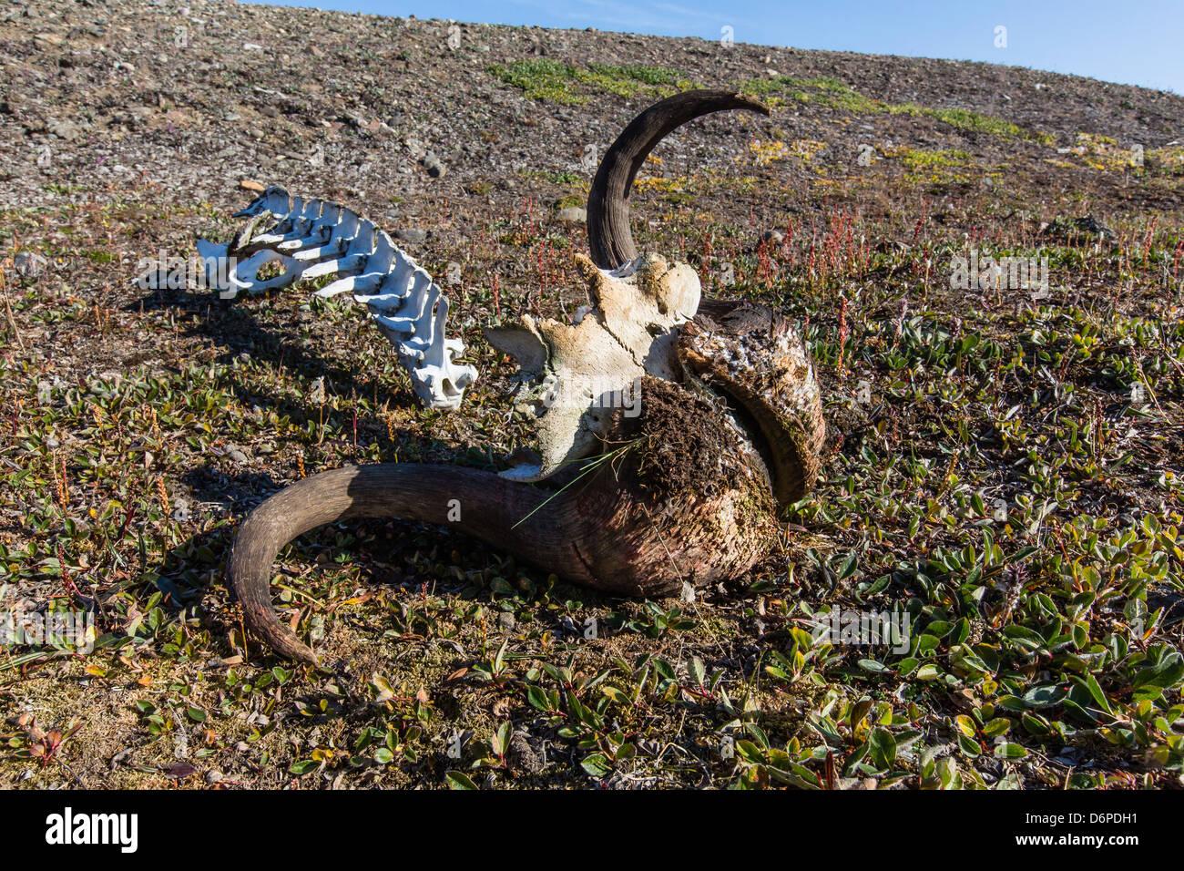 Muskox (Ovibos moschatus) skull and vertebrae, Myggebukta (Mosquito Bay), Christian X's Land, Northeast Greenland, - Stock Image