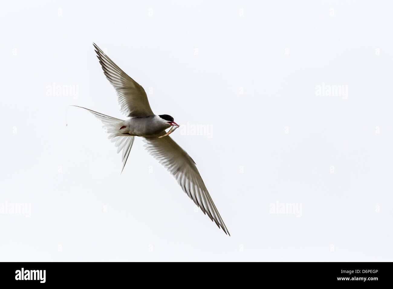 Adult arctic tern (Sterna paradisaea) returning to chick with small fish, Flatey Island, Iceland, Polar Regions - Stock Image